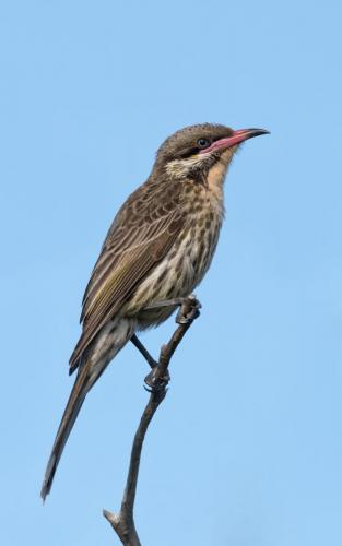 08- spiny-checked-honeyeater by J WatersJudge - 2nd Place