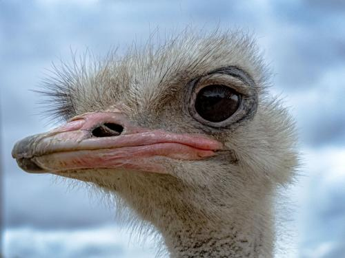 Female Ostrich - by T DaviesJudge - 1st Place