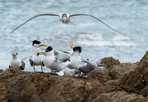 48 - Crested Terns by P HewstoneJudge - Merit