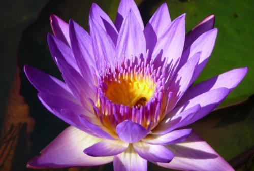 43 Water Lily