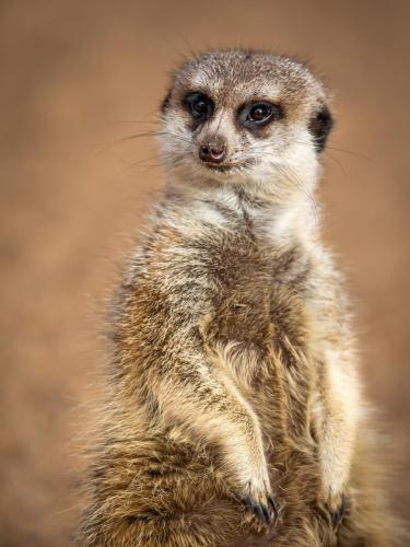 7- Meercat. - Fran Solly - 8 Points, 3rd Place Judges Vote.2nd Place Popular Vote.